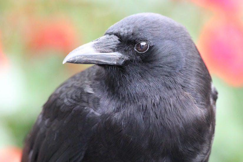 Crow up close