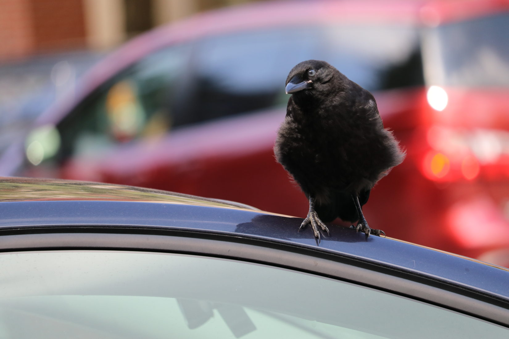Crow standing on car