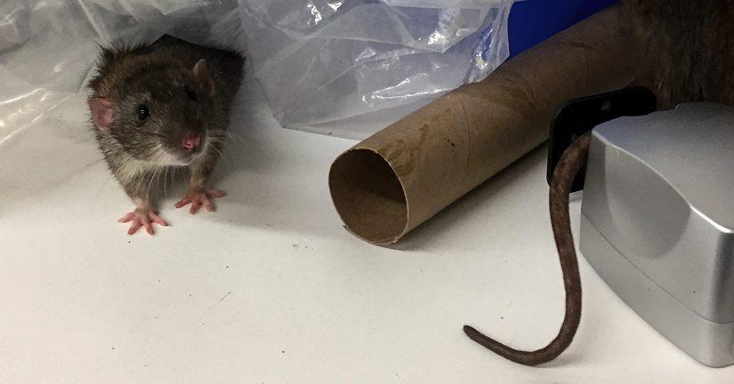 wild rats at home