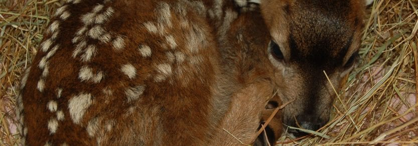 Deer Fawn Curled Up