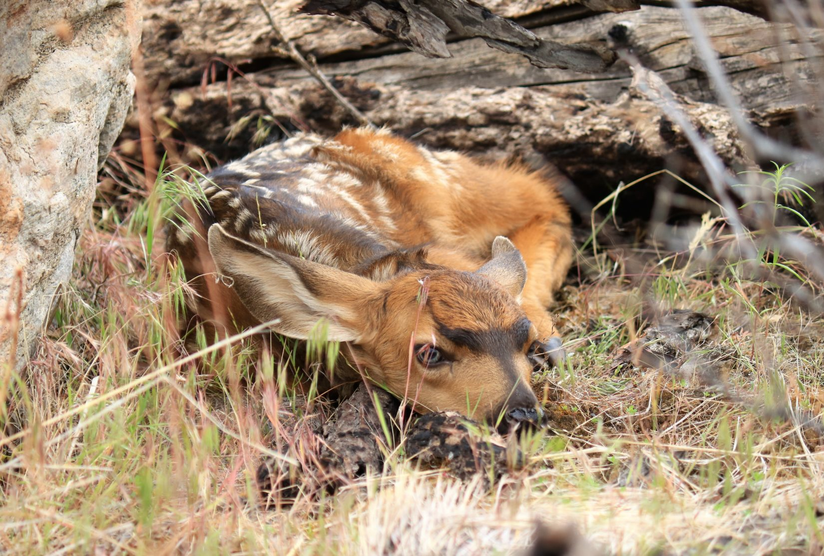Deer fawn laying in grass