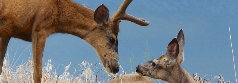 Wild deer on dried grass buck and young deer looking at each other