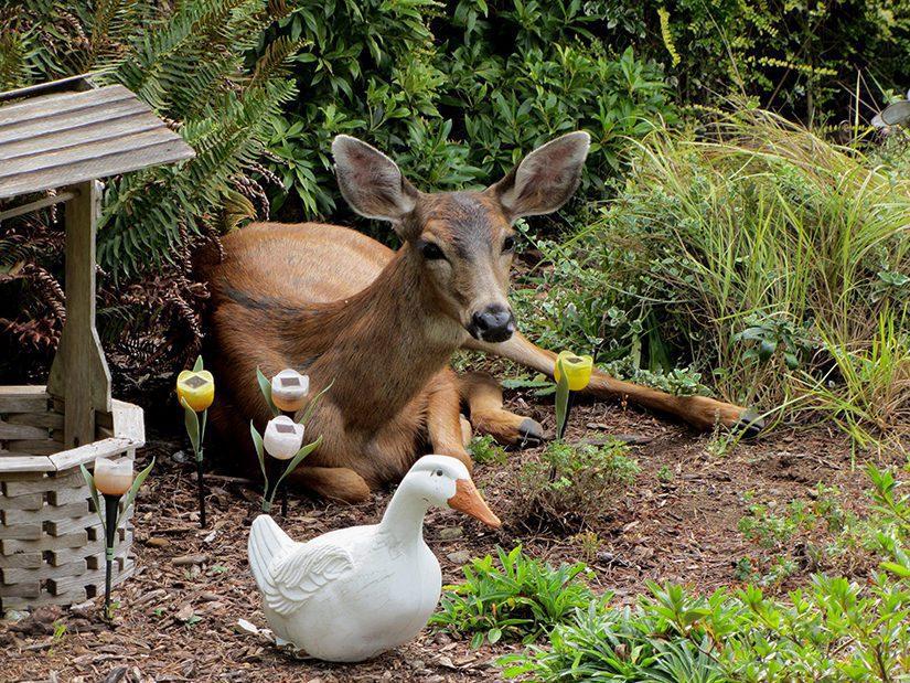 Deer laying in garden.