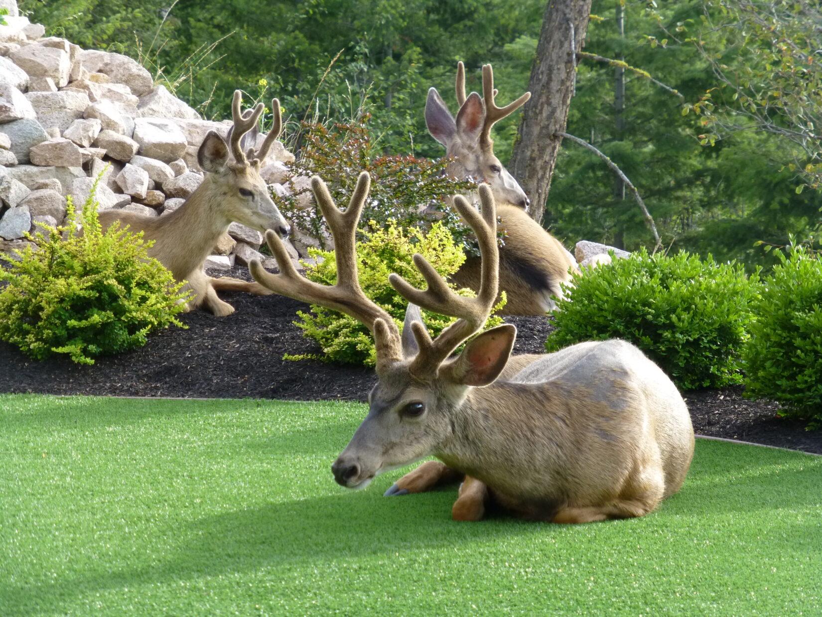Deer resting on garden lawn