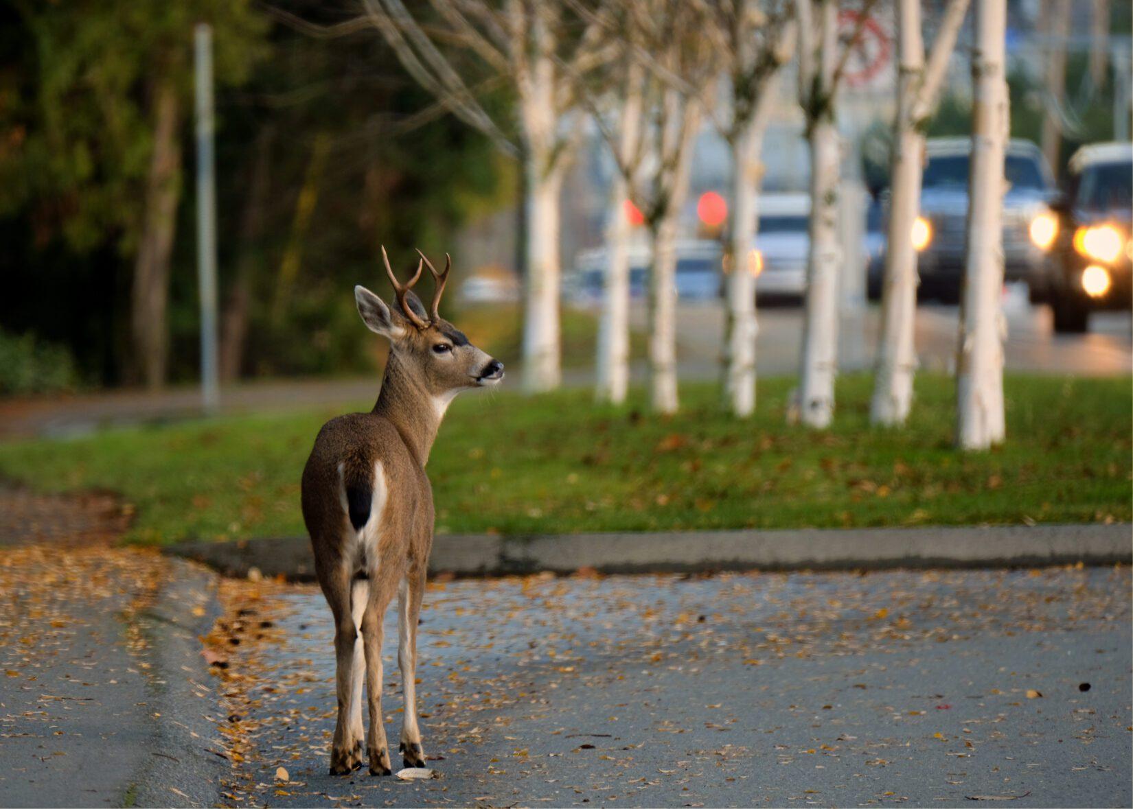 Young deer buck by roadside