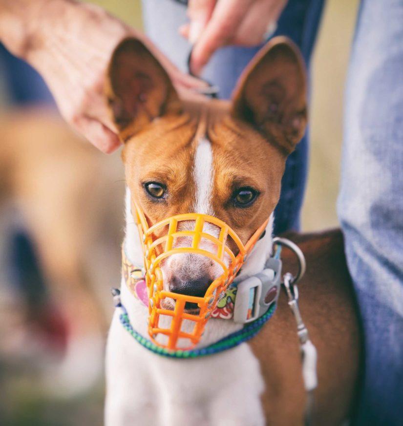 Basenji dog muzzled for a run.