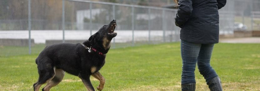 An aggressive scary looking dog barking directed towards a person on a field