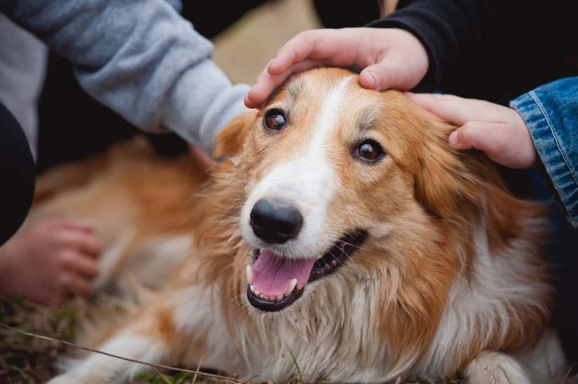 Children's hands caress and pet red border collie dog