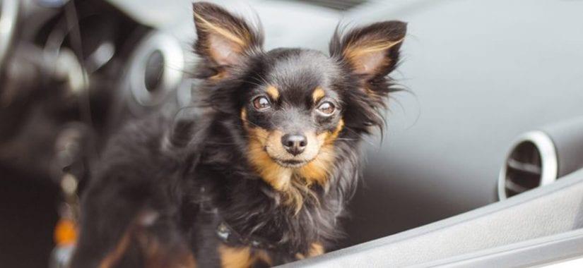 Small dog locked inside a hot car
