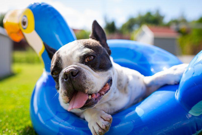happy-french-bulldog-summer