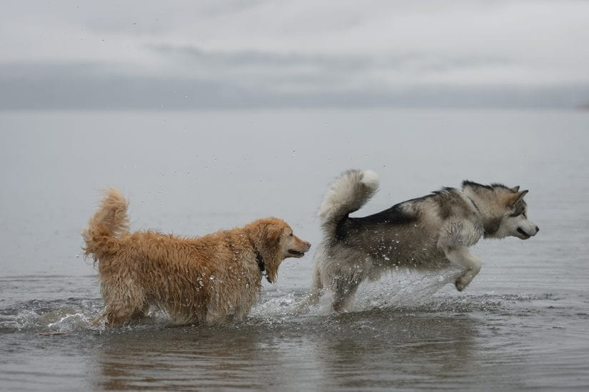 A golden retriever and a husky playing together in the ocean water