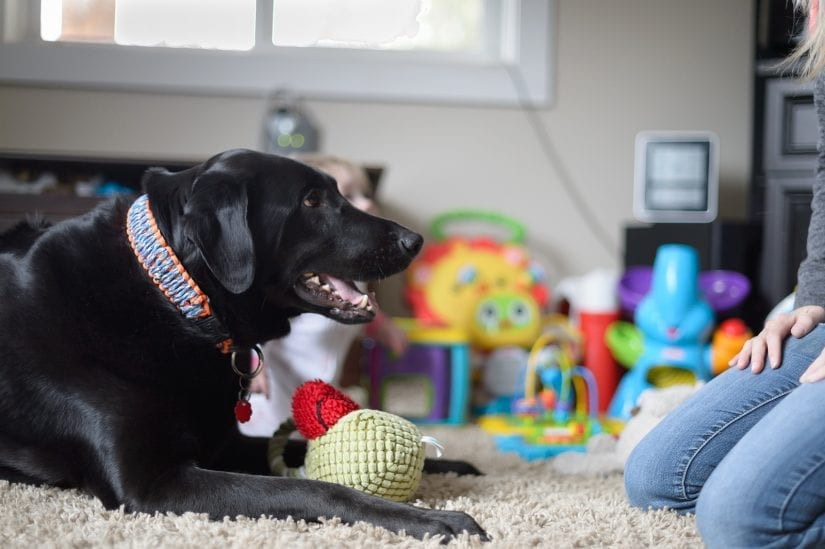 Black lab dog wearing a collar lying indoors on a carpet with a stuff toy looking up to a woman