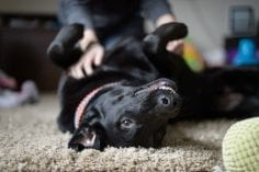 A happy smiling black lab dog lying indoors on a carpet on his back being given a belly rub