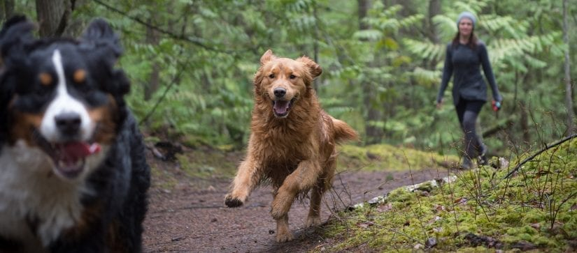 Two happy dogs running through a forest trail with a person behind them