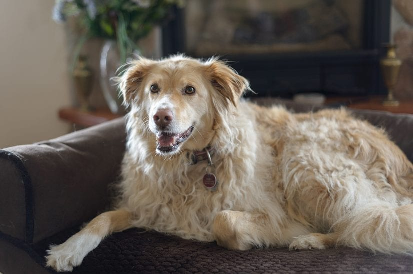 Golden retriever dog lying down on a couch indoors wearing collar and ID