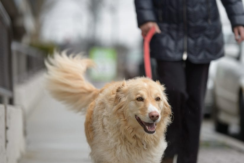 A happy golden retriever smiling while being walked on a leash on a pavement sidewalk