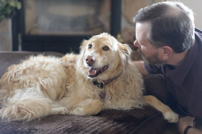 happy golden retriever lying on a cushion couch indoors getting pets from a man
