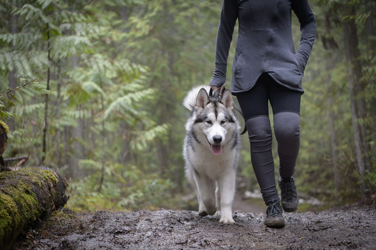 Husky dog wearing a leash being walked through a wet forest trail