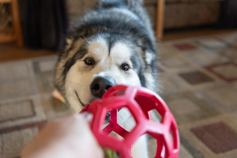 A Husky plays with a toy at home