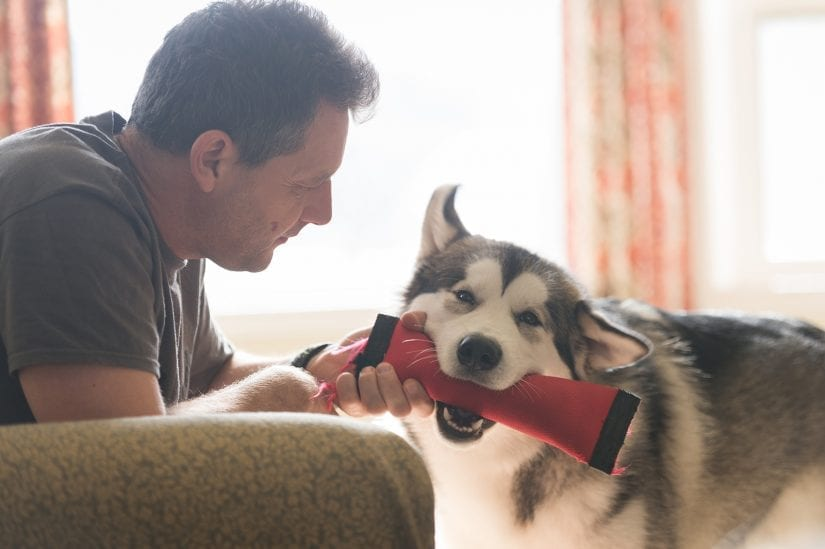 Husky dog playing and biting down on a toy with a man indoors