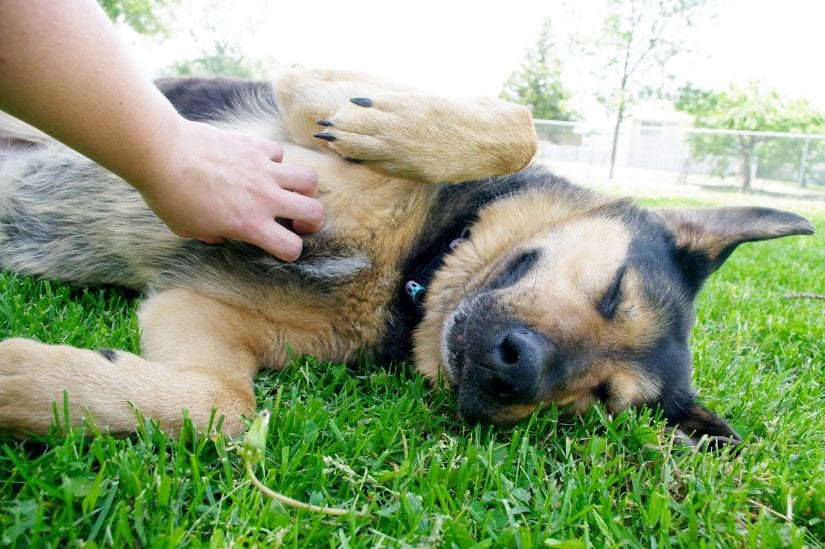 Tired happy dog lying down on side with eyes closed outdoors being given a belly scratch rub