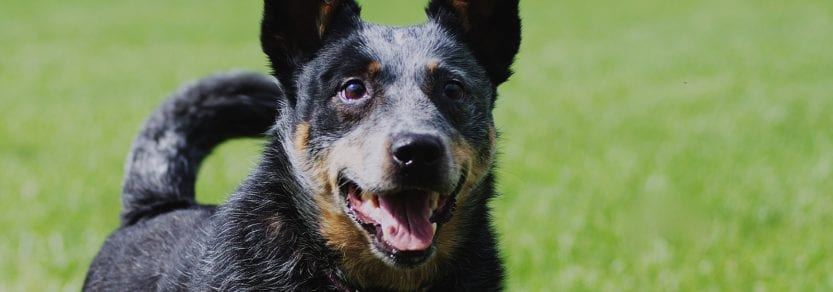Dog outdoors wearing collar id looking eager and excited