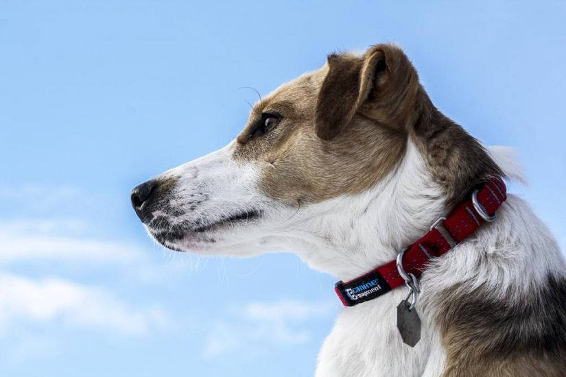 Side view of dog wearing collar id on a blue sky day outdoors