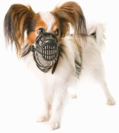 Papillon dog wearing a muzzle