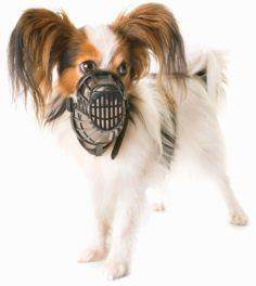 Papillon dog wearing a muzzle