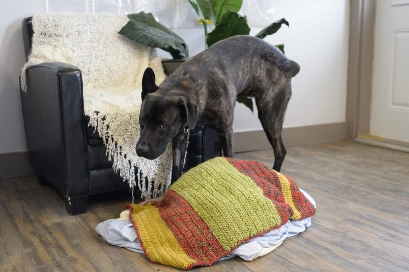 Dog indoors getting caught peeing on leather chair