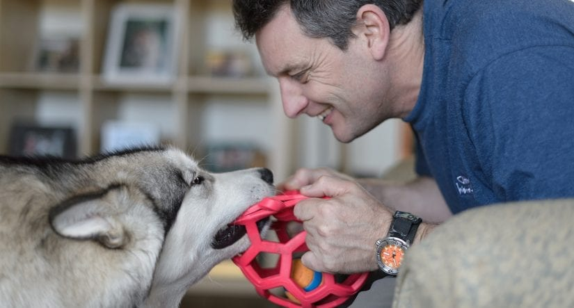 Husky dog playing tug of war with a ball toy with a smiling man indoors