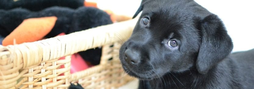 Curious cute black puppy dog lying on carpet indoors next to a basket