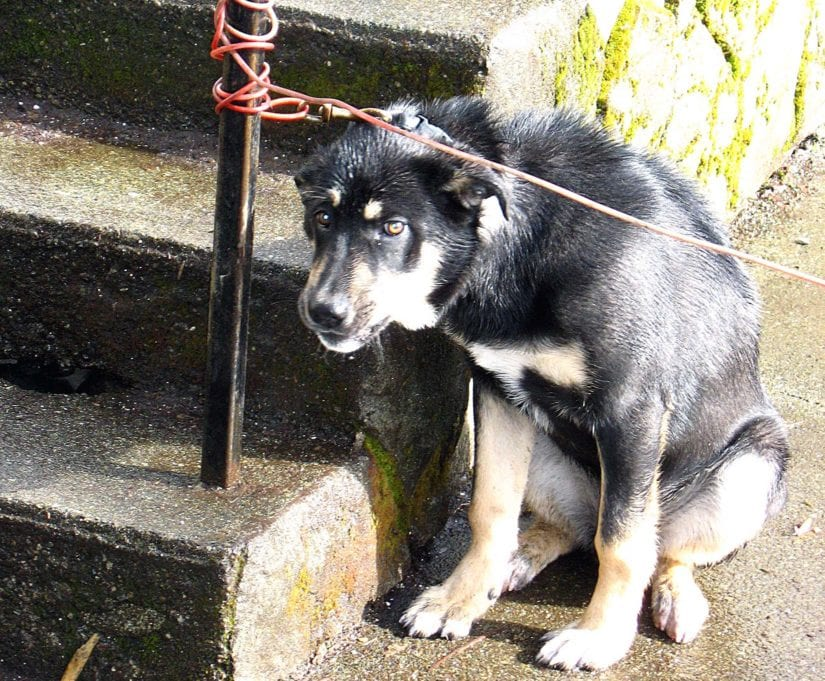 Sad chained scared dog in someone's backyard