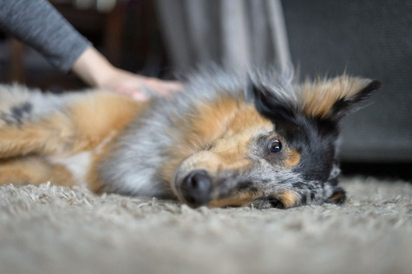 Tired and sleepy dog lying down on their side on carpet being pet by person