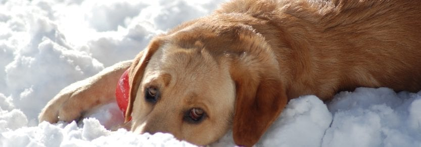 Sad dog lying down outdoors in the snow
