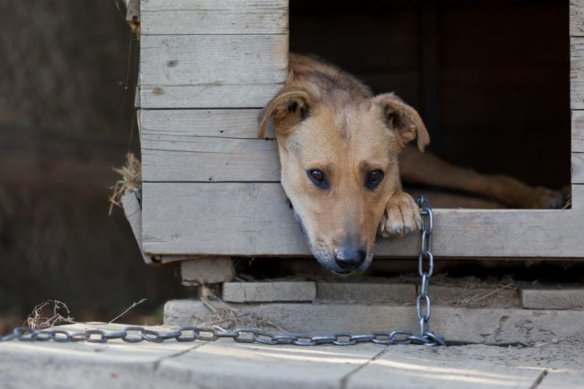 Sad tethered up dog on a chain in a wooden kennel