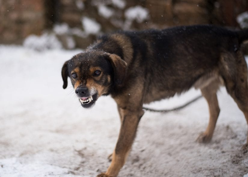 Angry tethered up dog in the snow snarling teeth