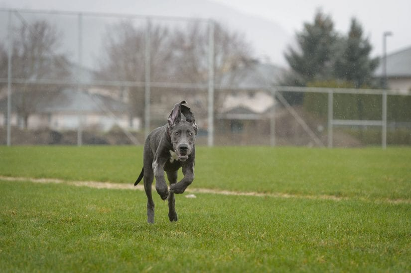 Weimaraner dog running off leash on a grass field