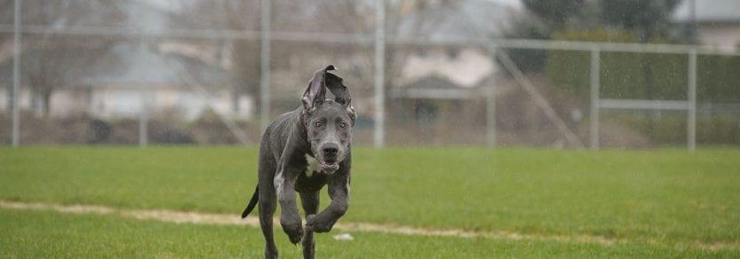 Weimaraner dog running off leash on a grass field