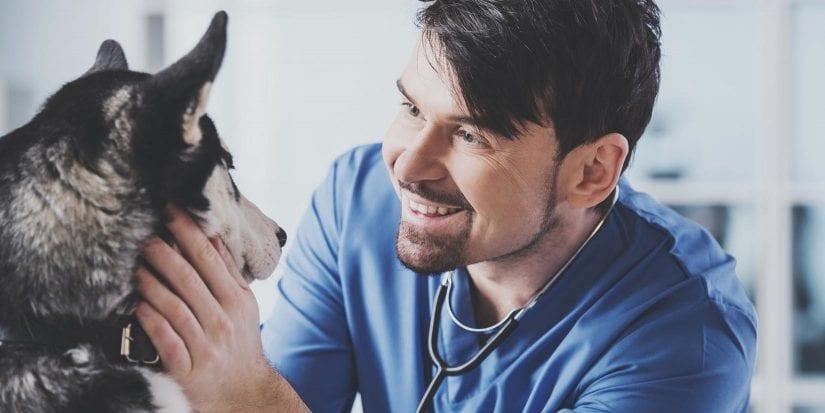 Veterinarian is examining a cute siberian husky at hospital