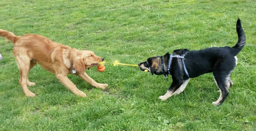 two dogs playing with a tug toy