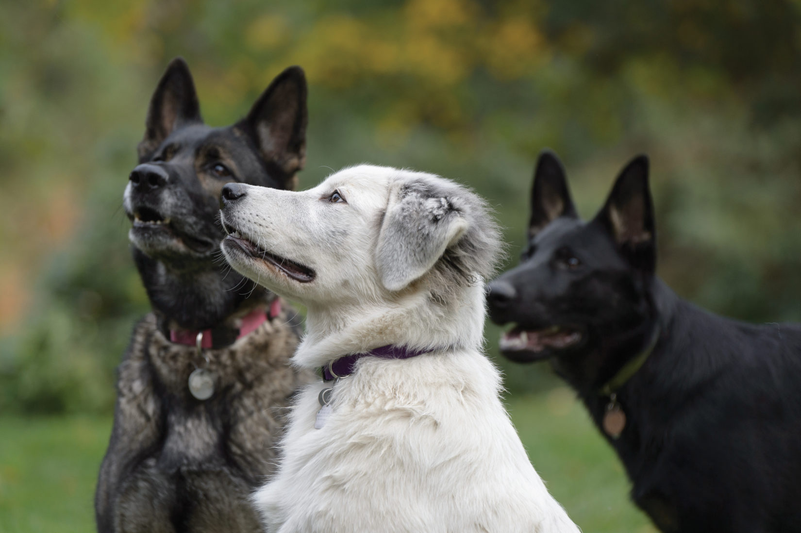 Three dogs outdoors