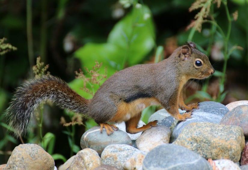 Douglas squirrel standing on rocks