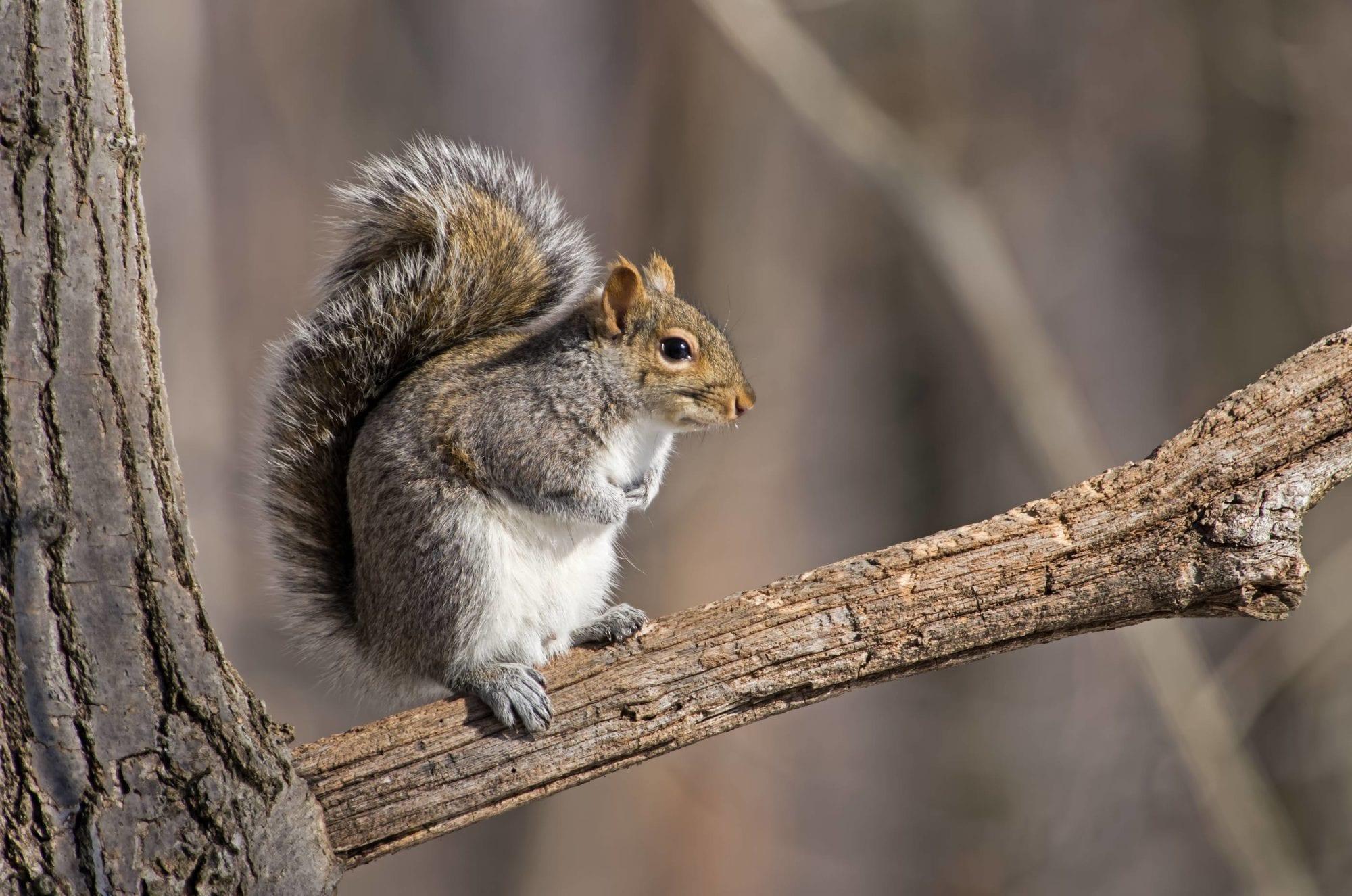 squirrels in b c