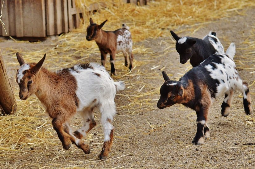 Fun Facts About Goats Bc Spca