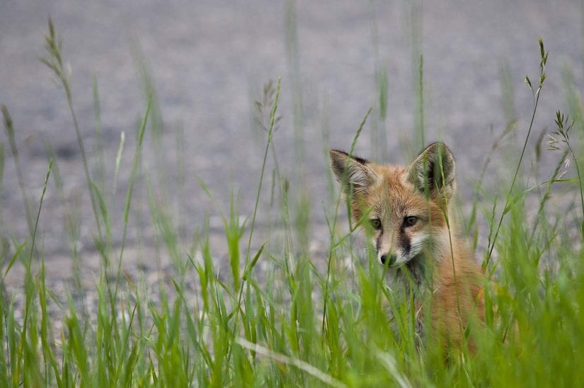 Wild fox near water behind long grass looking curious