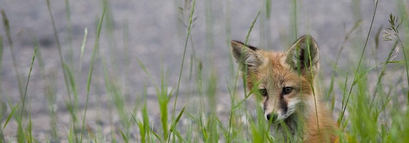 Wild fox near water behind long grass looking curious