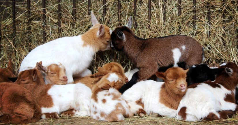 baby-goats-cuddling