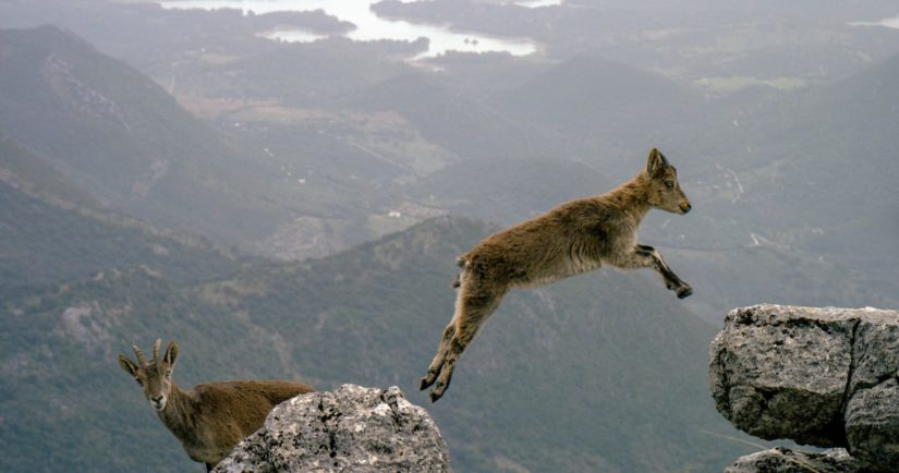 Mountain goat jumping at top of mountain