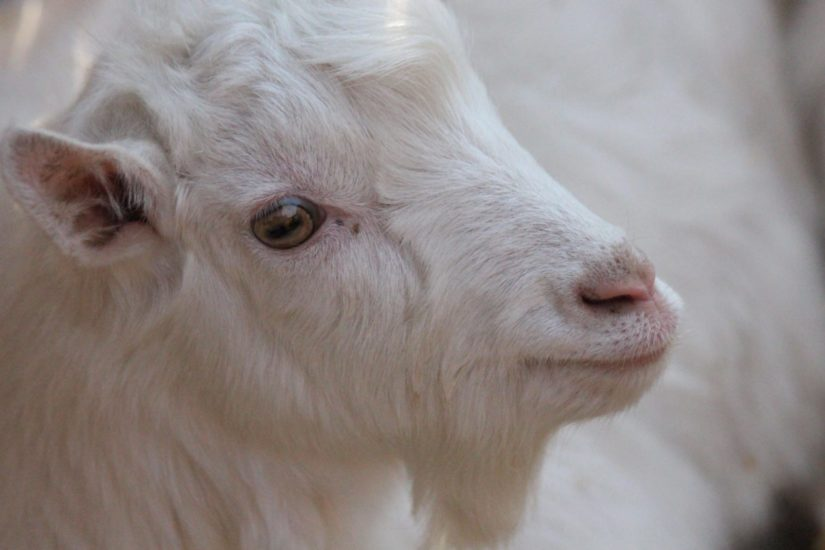 Closeup of a white goat